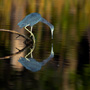 Little Blue Heron reflecting in a pond, Mirror To Nature Cover