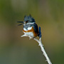 Belted Kingfisher Calling to warn others from his Territory