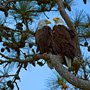 A Pair of Bald Eagles overlooking the River Course at Kiawah Island