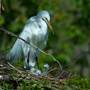 Great Egret with Chicks at Magnolia Plantaion's Swamp Garden