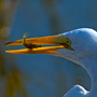 Great Egret snacking on a mud minnow
