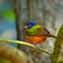 Painted bunting at Cassique Golf Course, Kiawah Island