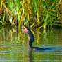Anhinga tossing up a fish to eat